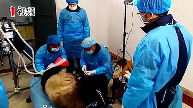 洪雅县发现病重大熊猫仍未脱离危险