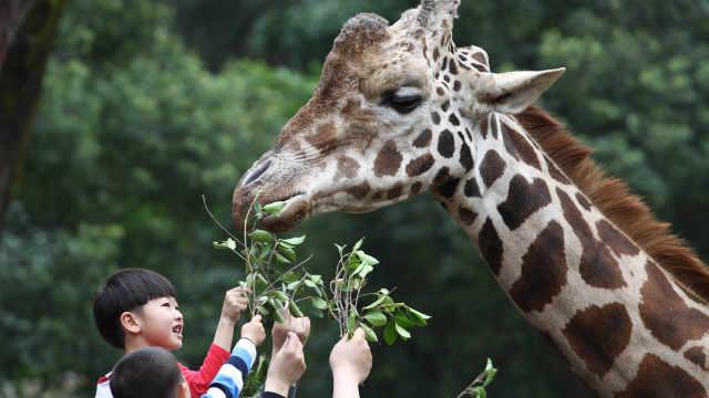 长颈鹿脖子为什么这么长?