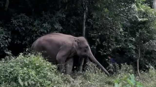 连线亚洲象专家解读:别摸大象屁股