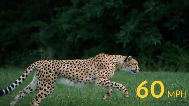 国家地理|你不知道猎豹的5件事