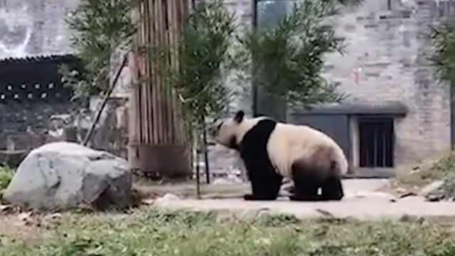 """海归大熊猫""""暖暖""""入籍都江堰"""