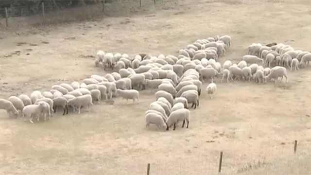 日本训练150头绵羊,排