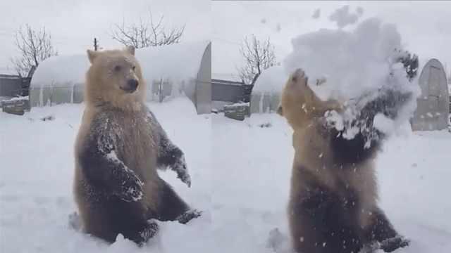 俄式萌宠!玩雪玩欢脱的呆萌狗熊