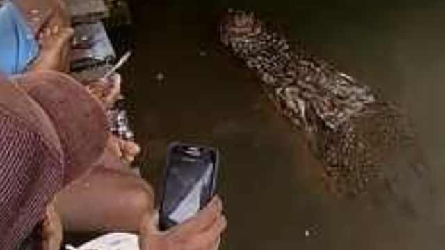 超亲民鳄鱼,等人杀鱼才吃残渣