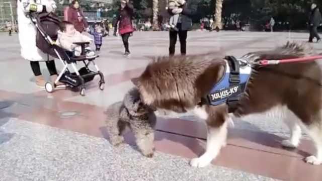 早安,重庆|暖萌!两只狗狗顶头杀