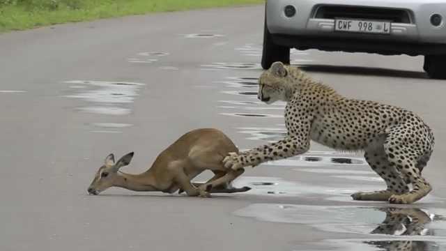 实拍南非幼豹猎杀羚羊,母豹一旁看