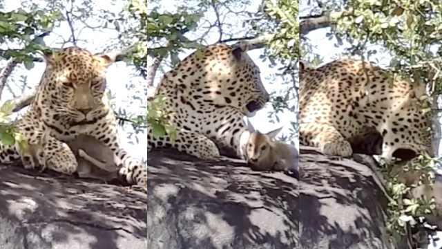 非洲猎豹戏弄小麂羚,吓得它直发抖