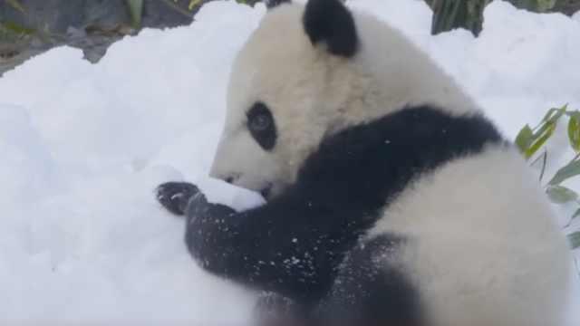 白雪运来当年货,成都大熊猫玩嗨了