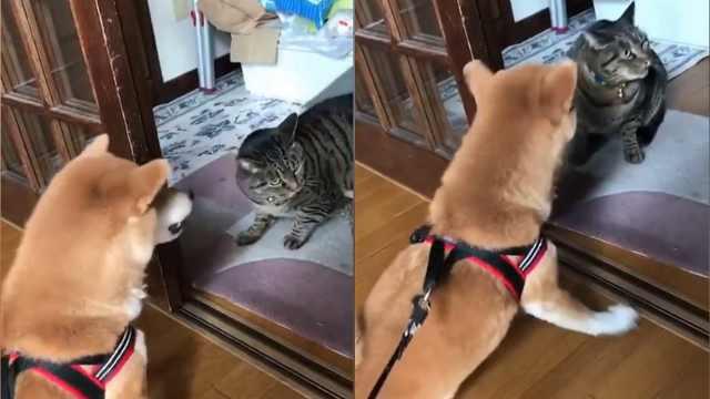 肥猫来家里串门,狗狗咆哮抗拒