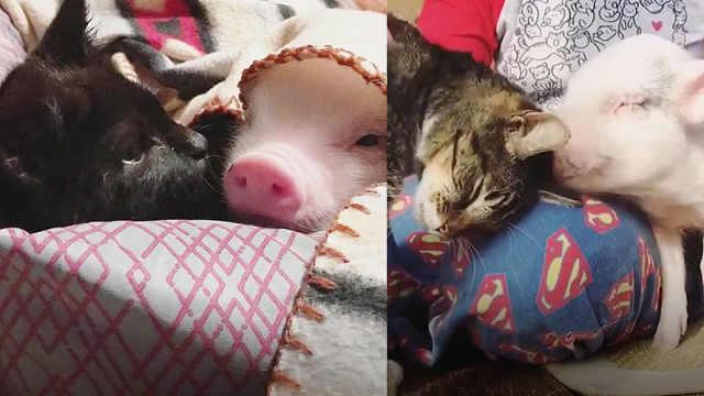 跨种族之爱!小猪与癫痫猫相依为命