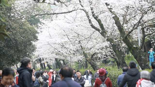 武大樱花已满开,赏樱需提前3天预约