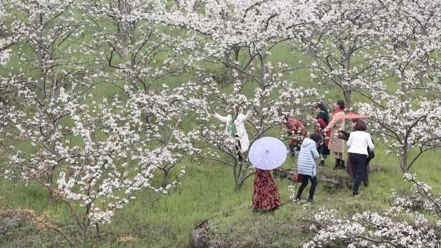 忽如一夜春风来,怀化万亩梨花盛开