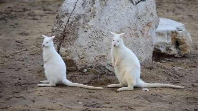 白袋鼠烟台产崽,出生仅花生米大小