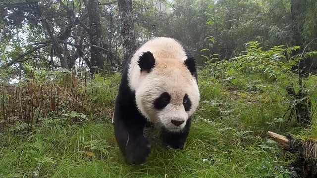 如何成功偶遇野生大熊猫?有三招!