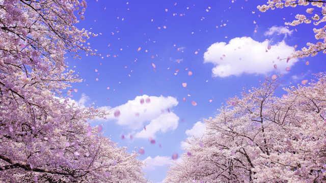 直播:日本最佳赏樱季,灿若霞落如雨