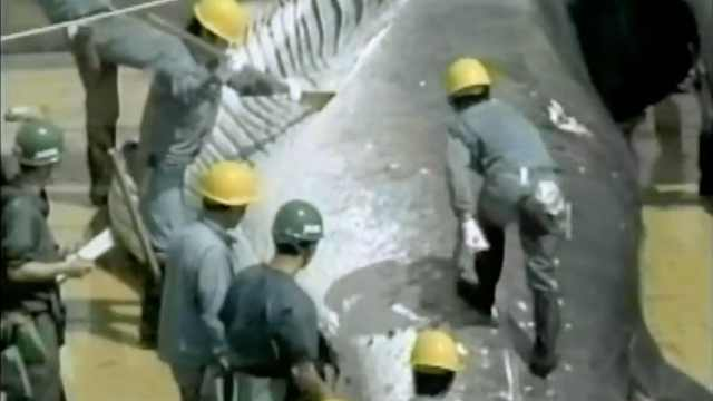 日本以科研之名,捕杀333头鲸鱼