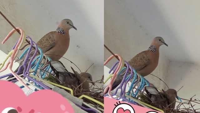 女生宿舍长期未收衣服,引来鸟筑巢