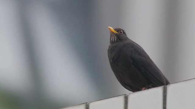 【秒拍大自然·21期】乌鸫唱歌