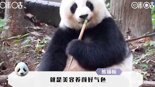 进击的咪咕熊猫惊:精致熊熊女孩