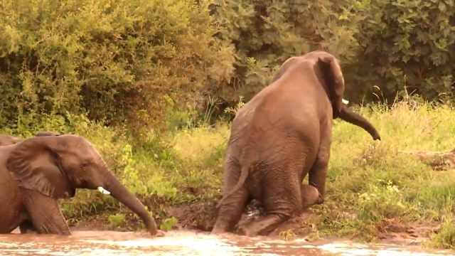 任性大象!在水里跌倒就在水里瘫着