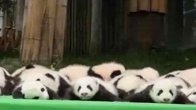刚出生的熊猫宝宝,你们见过吗?
