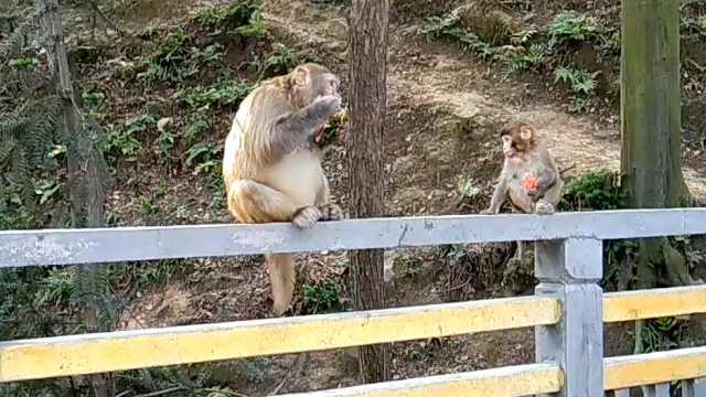 猕猴定时下山等喂食,吃豌豆还吐壳