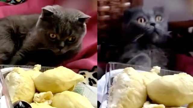 主人请吃榴莲,猫咪直接被臭晕