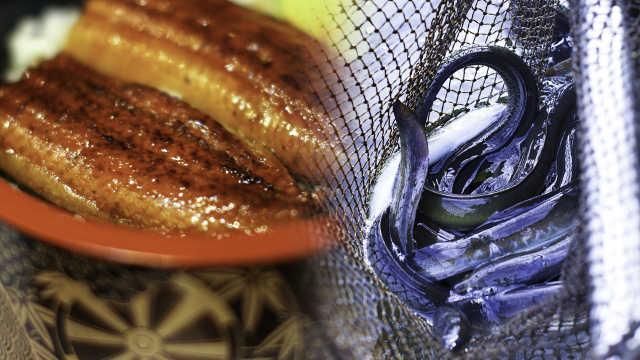 直播:鳗鱼饭断货!日本野鳗被吃濒危