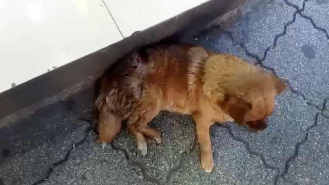 宠物狗身中2刀躺商店前,疑遭人砍伤