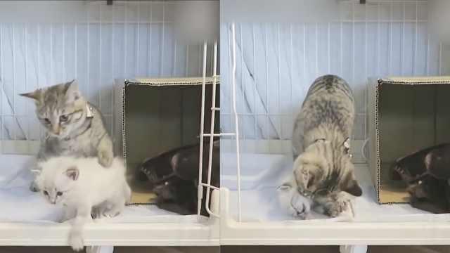 过度保护的猫哥哥,不准妹妹出去玩