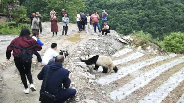 大熊猫进村