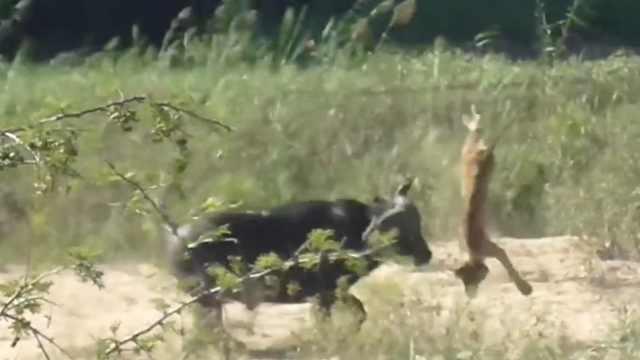 解救蜥蜴,水牛大战群狮顶飞小狮子