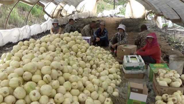 就因个头太大?黑龙江5千斤香瓜滞销