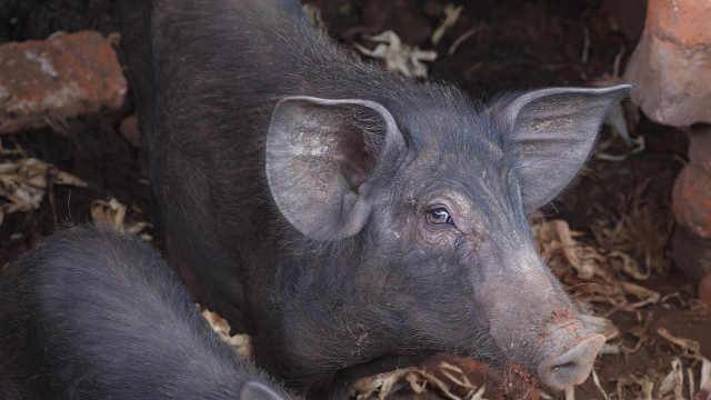 看看非洲农村的黑猪,真俊!