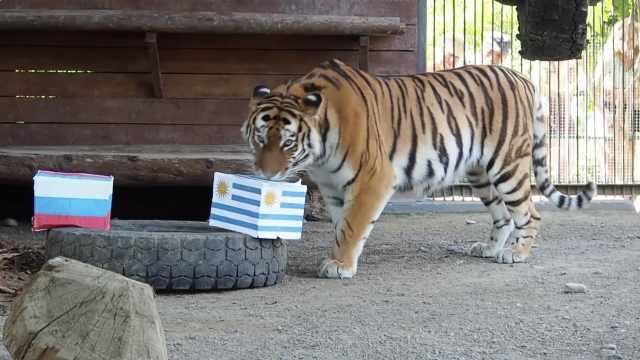 霸气!老虎预测俄罗斯将拿下乌拉圭