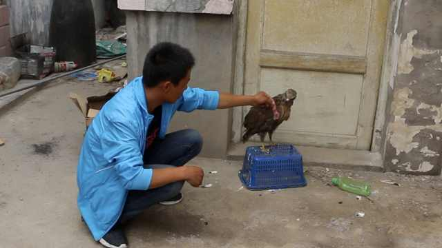 幼鵟出巢被村民捡到,大肉喂养1个月