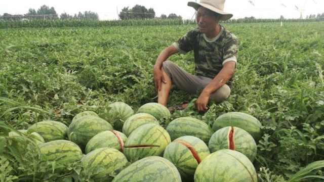 2万斤西瓜一夜间被毁,64岁瓜农崩溃