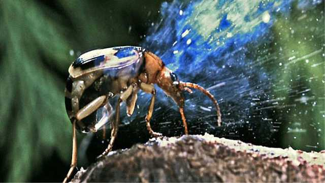 这种虫每秒喷700次毒液,很厉害!