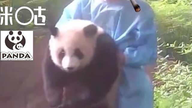 大熊猫成实:奶爸,我最喜欢你了!