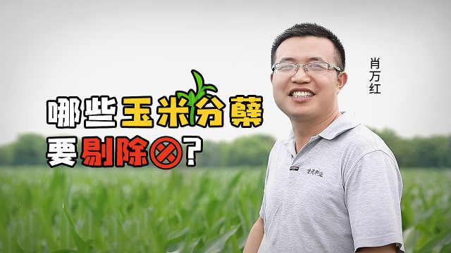 你知道,哪些玉米分蘖要剔除吗?