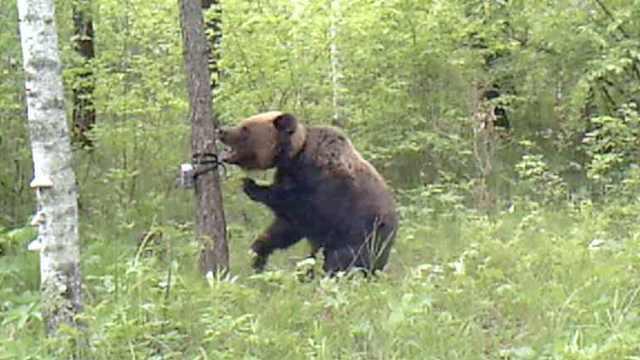 闪光吓坏幼崽,母熊暴怒狂扇相机