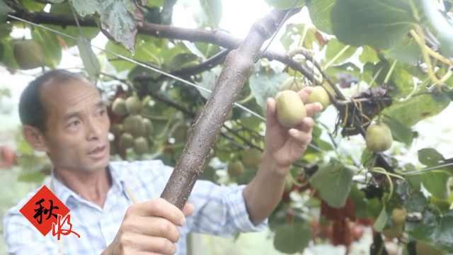 夫妻陡坡种猕猴桃,忍不住边摘边吃