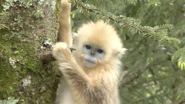 神农架添7金丝猴,被拍秒变表情包