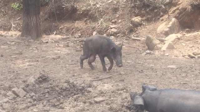 野猪寻母猪被打伤,竟与家猪成朋友