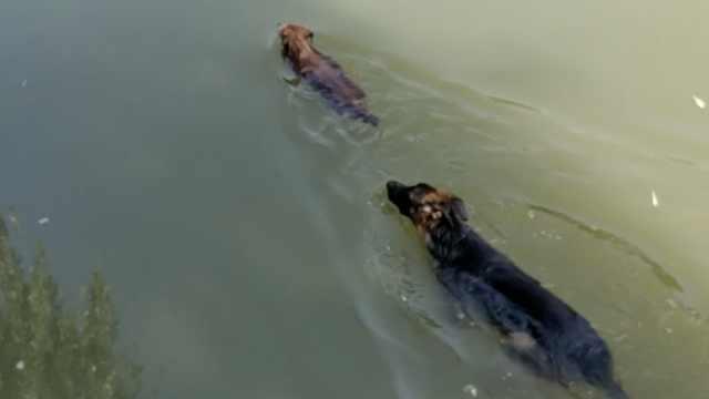 女子竟在环城河遛狗:能游2圈不感冒
