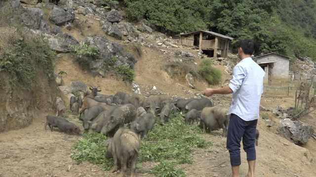 他山上养百头野猪,称猪能自己治病