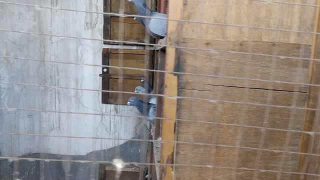30信鸽一夜被盗,主人痛心:有冠军鸽