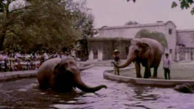 结缘上海46年,亚洲象