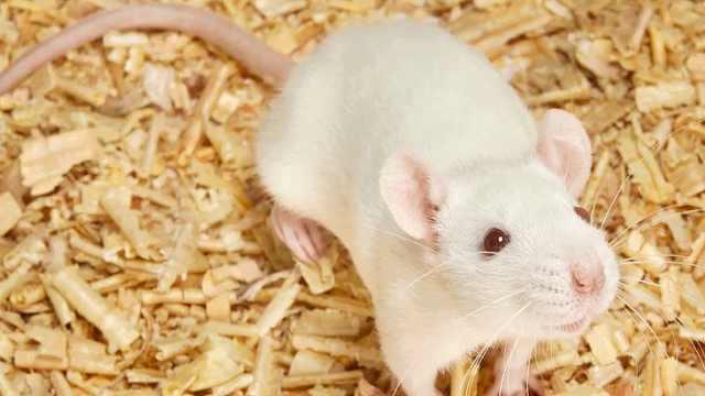 为啥科学家的实验对象大多是小白鼠