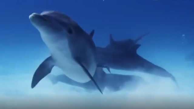 海中霸主鲨鱼,为什么会怕海豚?